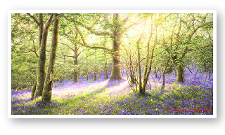 Bluebell Wood, Dartmoor painting by David Young