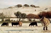 print winter grazing pew tor dartmoor david william young paintings