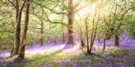 prints bluebell wood meldon dartmoor david young paintings