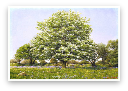 May Blossom, Dartmoor painting by David Young