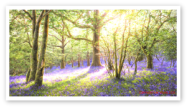 Bluebell Wood, Meldon, Dartmoor painting
