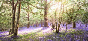 Paintings of Bluebell Woods, Dartmoor by David Young