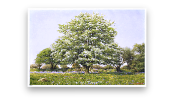 Painting of May Blossom  A Dartmoor Spring by David Young